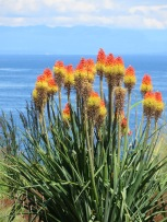 Red Hot Pokers, hummingbirds love them.