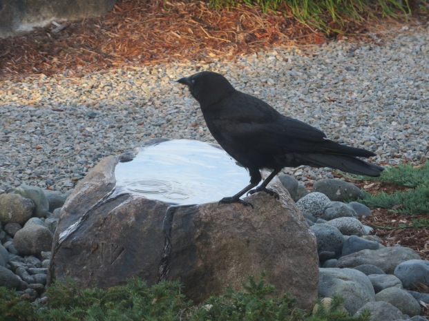 Gurgling water feature/crow bath/Tug drinking bowl.